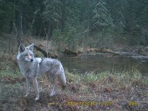 Coyote on Crittercam