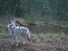 Coyote on Crittercam