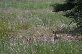 Coyote Den