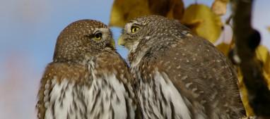 Pygmy Owls