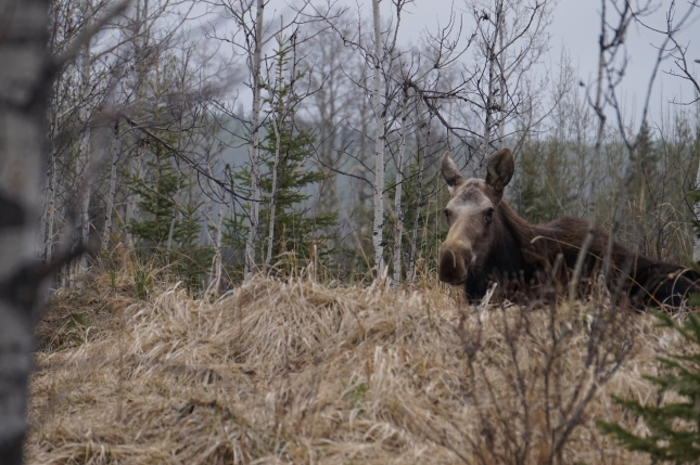 Moose resting on Lot 12, Apr 2016