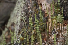 Early Horsetail Ferns