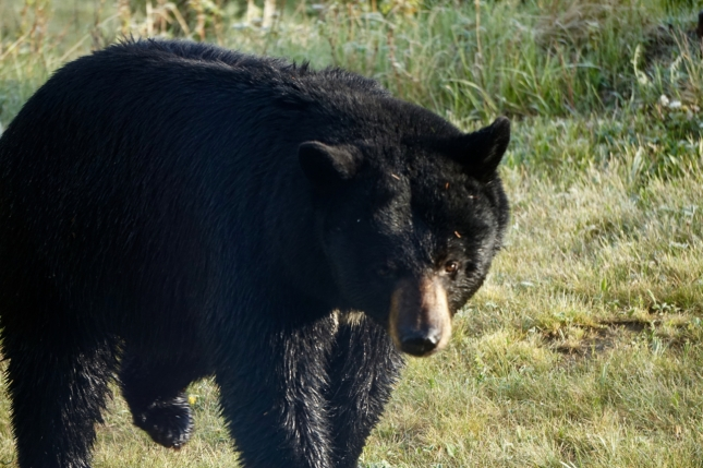 Black bear in the retreat, May 2016
