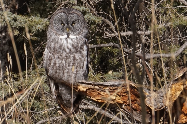 Great grey owl, James River Road, Oct 2015