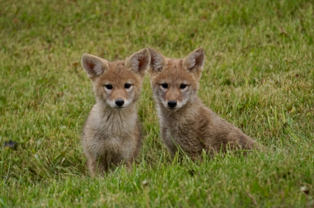 Coyote pups near fish pond, June 2016