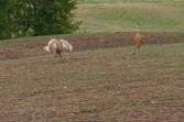 Sandhill Cranes Courting