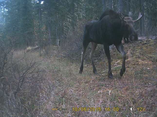 Moose caught on crittercam, Oct 2015