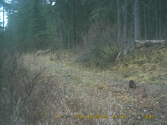 What IS that, anyway? Pine Marten caught on crittercam, south edge of JRR, Oct 2015