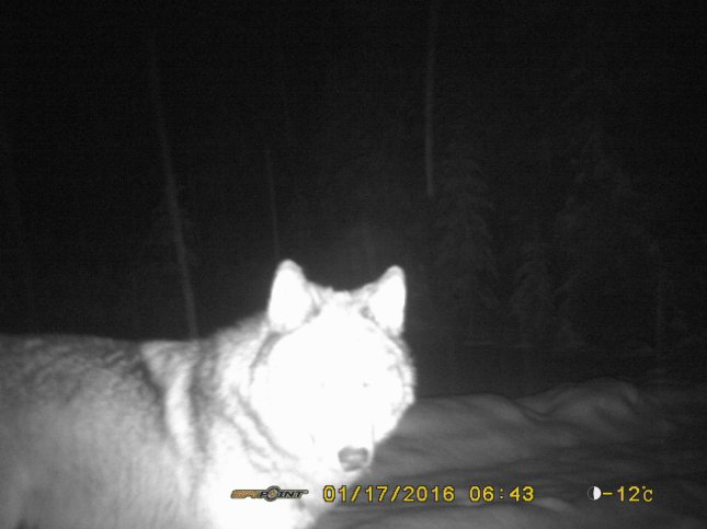 Wolf caught on crittercam, Feb 2016